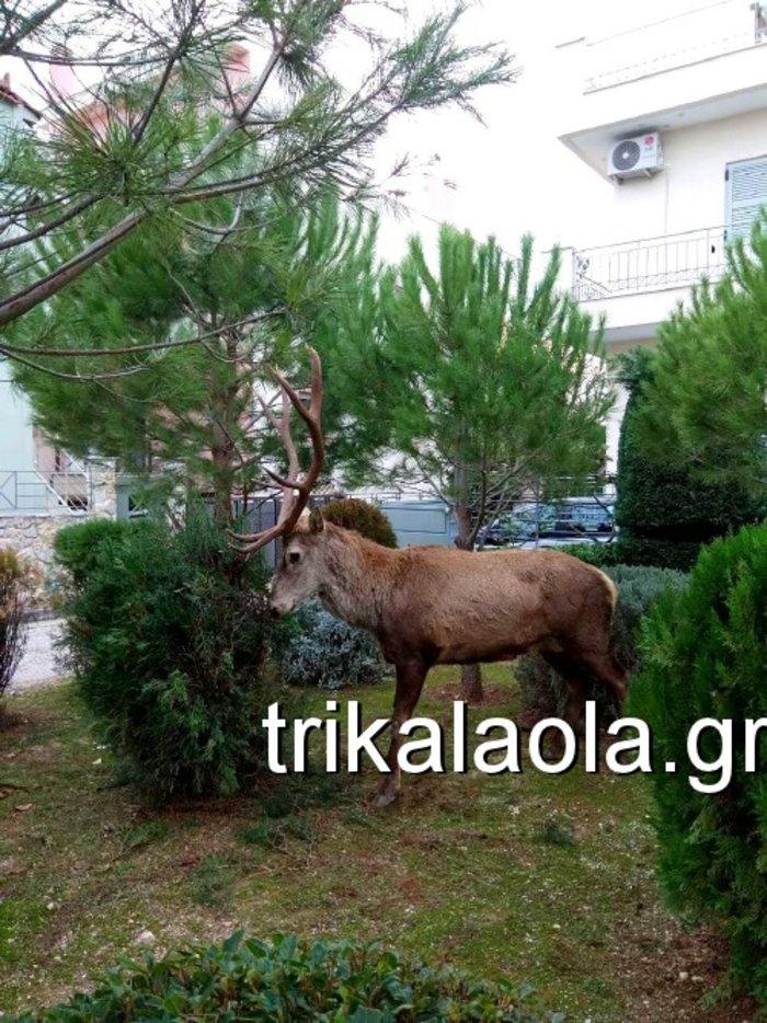 Ελάφι έκοβε βόλτες σε κήπους στους Θρακομακεδόνες - Βίντεο - εικόνα 3