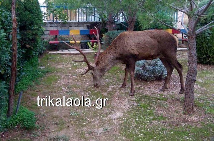 Ελάφι έκοβε βόλτες σε κήπους στους Θρακομακεδόνες - Βίντεο - εικόνα 4