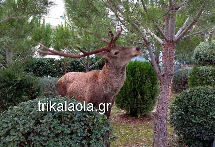 Ελάφι έκοβε βόλτες σε κήπους στους Θρακομακεδόνες - Βίντεο - εικόνα 5