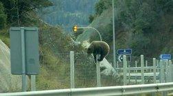 Η στιγμή που μια αρκούδα προσπαθεί να περάσει την Εγνατία Οδό