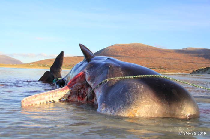 Εικόνες σοκ: Νεκρή φάλαινα με 100 κιλά σκουπίδια στο στομάχι