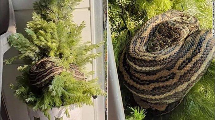 Σοκ: Βρήκε πύθωνα 3μ. στο χριστουγεννιάτικο δέντρο [εικόνες]