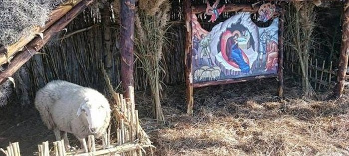 Έβαλαν ζωντανό πρόβατο με δεμένα τα πόδια για ντεκόρ μέσα σε φάτνη