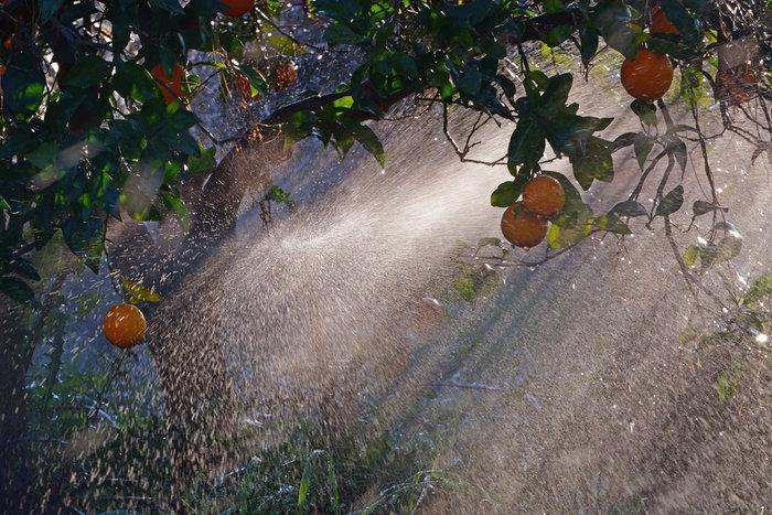 Πάγωσαν μέχρι και τα πορτοκάλια στην Αργολίδα [εικόνες] - εικόνα 4