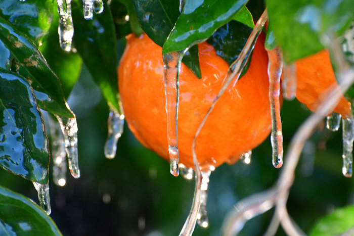 Πάγωσαν μέχρι και τα πορτοκάλια στην Αργολίδα [εικόνες] - εικόνα 6