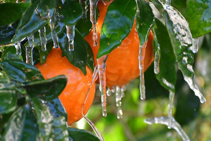 Πάγωσαν μέχρι και τα πορτοκάλια στην Αργολίδα [εικόνες] - εικόνα 3