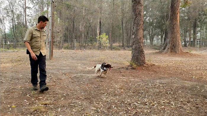 Αυστραλία: Το αγγλικό σπρίνγκερ σπάνιελ που διασώζει κοάλα στις πυρκαγιές - εικόνα 3