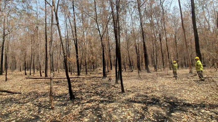 Αυστραλία: Το αγγλικό σπρίνγκερ σπάνιελ που διασώζει κοάλα στις πυρκαγιές - εικόνα 4