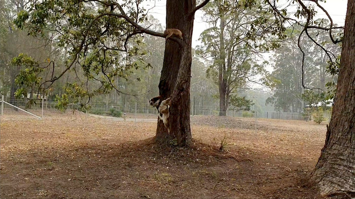 Αυστραλία: Το αγγλικό σπρίνγκερ σπάνιελ που διασώζει κοάλα στις πυρκαγιές - εικόνα 5