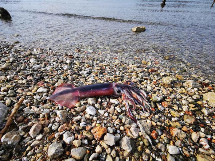 Καλαμάρι 4 κιλών έπιασε ερασιτέχνης ψαράς στο Ναύπλιο (βίντεο)
