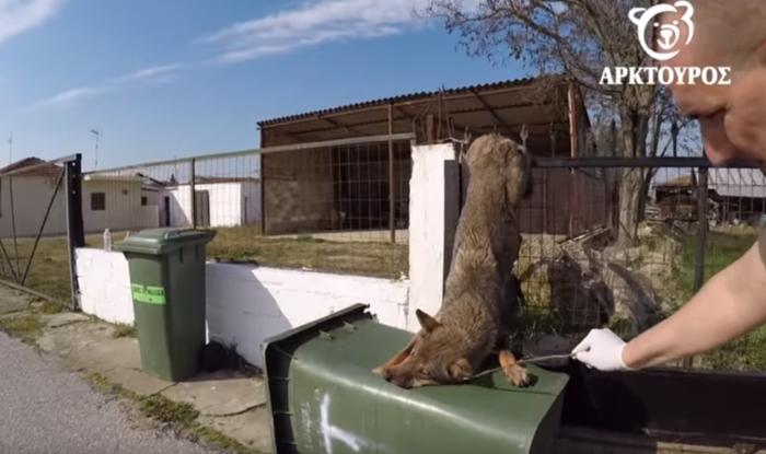 Απίστευτη διάσωση λύκαινας που είχε κρεμαστεί σε λόγχη (βίντεο-φωτό)